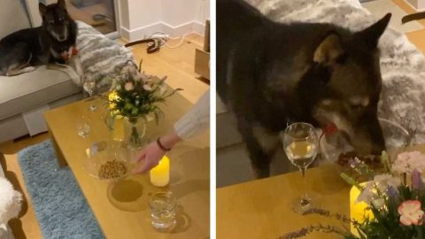 IN THE DOG HOUSE! RESCUE DOG SNUBBED BY PAMPERED POOCH AS OWNERS SET THEM UP ON HILARIOUS DINNER DATE TO HELP THEM BOND Image