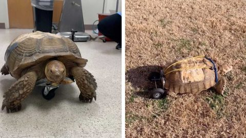 THIS TORTOISE USES A WHEELCHAIR TO WALK AFTER DEVELOPING A CONDITION THAT LEFT IT IMMOBILE Image