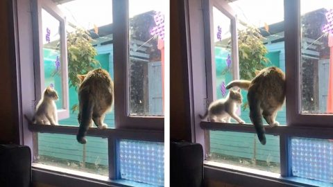 THIS IS SPAWRTA! SAVAGE CAT KNOCKS KITTEN DOWN WINDOWSILL IN SHOCKING VIRAL VIDEO Image