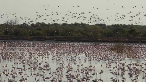 INCREDIBLE MOMENT FLAMBOYANCE OF FLAMINGO TURN ONCE DRY WETLAND INTO PINK CARPET Image