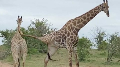 AND STRETCH! GIRAFFE GETS CAUGHT IN LIMBO DURING FIGHT Image
