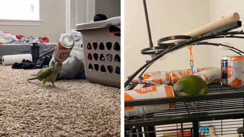 HILARIOUS PARROT WITH DRINKING PROBLEM' CHUGS BEER CANS STOLEN FROM OWNER'S SUPPLIES Image
