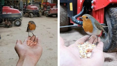 A ROBIN COMES TO VISIT THIS GREENKEEPER EVERYDAY WHILST HES WORKING AS THEY FORM AN INCREDIBLE BOND Image