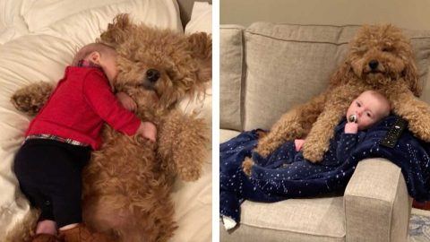 HEART-WARMING BOND BETWEEN GOLDEN-DOODLE PUP AND SIX MONTH OLD BABY Image