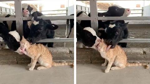 HERD OF COWS GROOM CAT IN ADORABLE FARMYARD VIDEO Image