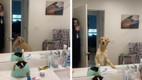 COUPLE BAMBOOZLE GOLDEN RETRIEVER WITH CUTE GAME OF HIDE AND SEEK Image