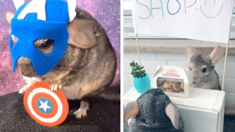 PET CHINCHILLAS LIVE THE LIFE OF LUXURY DINING OUT ON MINIATURE ICE-CREAMS AND DONUTS Image