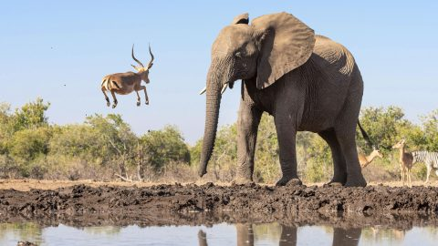 ANTELOPE JUMPS SO HIGH IT REACHES THE HEIGHT OF AN ELEPHANT Image
