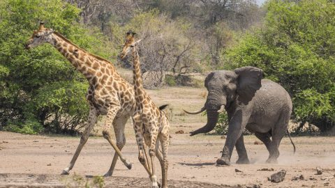 IT'S BEHIND YOU  –  STARTLED GIRAFFE DARTS AWAY FROM SNEAKY ELEPHANT Image