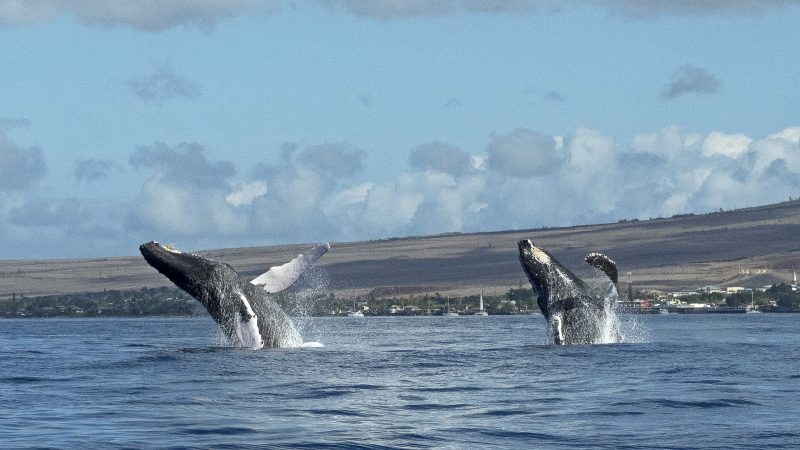 WHALE HOW ABOUT THAT – PLAYFUL WHALES BREACH TOGETHER Image