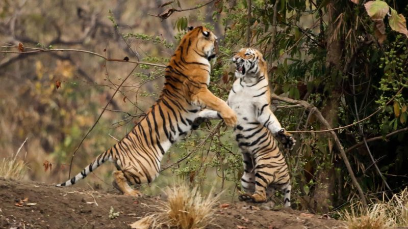 TALK ABOUT CATTY! DRAMATIC SHOTS CAPTURE FEROCIOUS BRAWL BETWEEN TWO FEMALE TIGERS Image