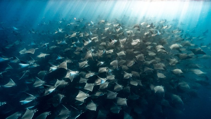 MESMERISING SNAPS CAPTURE LUCKY DIVERS SWIMMING AMONGST THOUSANDS OF MOBULA RAYS Image