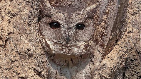 CAN YOU SPOT THE OWL IN THE TREE? Image