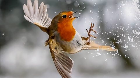 WHAT A PHYS-BEAK! BURLY ROBIN FLEXES HIS WINGS IN IMPRESSIVE SHOT Image