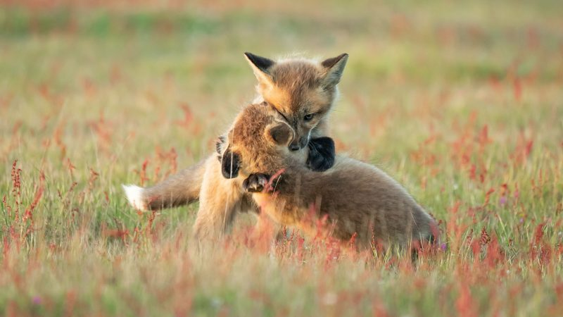 ADORABLE FOX CUBS CAPTURED ON CAMERA AS THEY CUDDLE Image