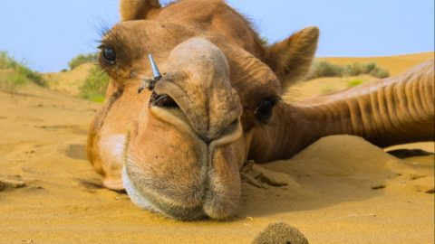 BEETLE CAUGHT IN THE ACT WITH CAMEL'S DUNG Image