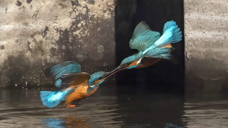 ANGRY BIRDS! TWO KINGFISHERS BATTLE IT OUT IN A MID-AIR FIGHT OVER TERRITORY Image