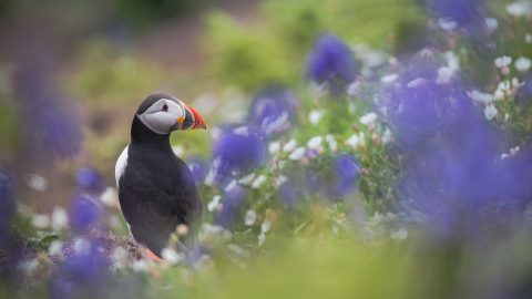 BEAUTIFUL PUFFIN PORTRAITS SHOW STUNNING SEABIRD NESTLED IN FIELD OF WILDFLOWERS Image