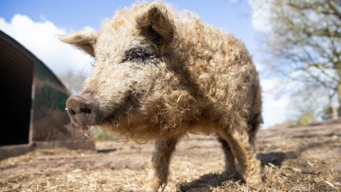 MUTTON DRESSED AS HAM! RARE WOOLLY PIGS LOOK JUST LIKE SHEEP Image