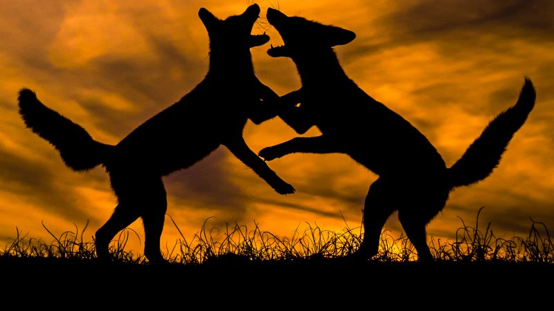 SPECTACULAR MOMENT FOXES FIGHT AT SUNSET Image