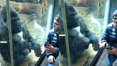 GORILLA HELPS MAN PICK DATE BY SWIPING ON PHONE APP FOR HIM Image