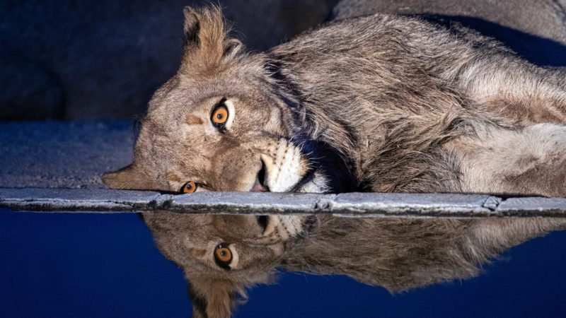 HAVING A BAD DAY? DEPRESSED LOOKING LION DROWNS HIS SORROWS AT WATERHOLE Image