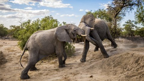 TRUNKS AT THE READY - YOUNG ELEPHANTS CAUGHT PLAY FIGHTING Image