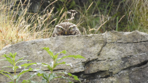 PEEK A-BOO! OWL ATTEMPTS TO HIDE BEHIND A ROCK Image