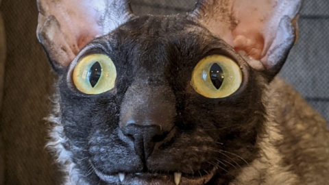 ADORABLE CORNISH REX CAT GOES VIRAL THANKS TO CLOWN-LIKE SMILE Image