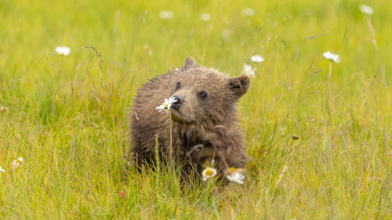 ADORABLE BEAR CUB CAUGHT SNIFFING A FLOWER Image