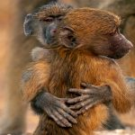 Adorable baby baboons cuddle and become best friends