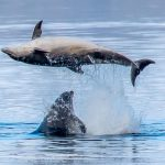 Dirty dancing dolphins perfect routine in Scottish ocean