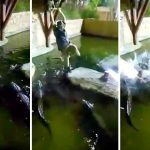 See ya later- Heart stopping moment man falls in the water filled with alligators