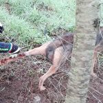 Severely wounded wolf trapped in wire fence attacks rescuer