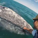 Friendly grey whale calf approaches boat so passenger can pet it