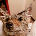 Budding Botanist Rescues Abandoned Coyote Pup And Treats Her To Bathtime
